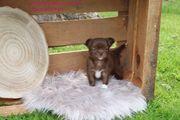 Chihuahua Langhaar Schoko mit Ahnentafel