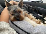 Yorkshire Terrier Welpe Blue and