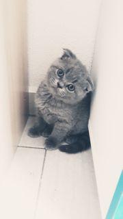 2 wunderschöne BKH Kätzchen