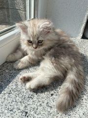 Babykatze Perser