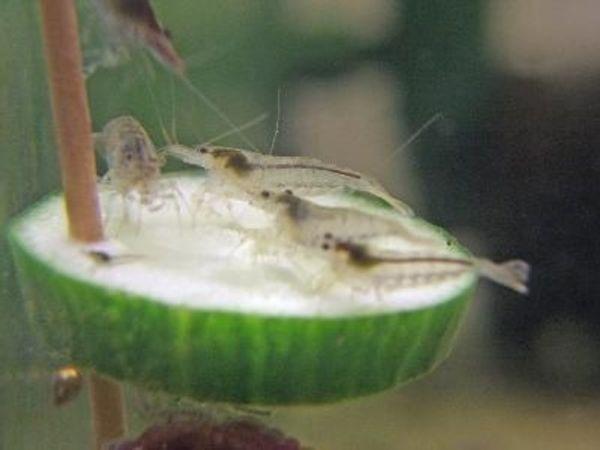 Heutiges Schnäppchen - Schöne nützliche Algengarnelen
