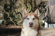 Erfahrener Siberian Husky Deckrüde KEIN