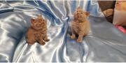 British kurzhaar Katzen Babys