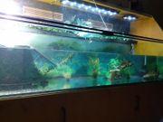 2 Hieroxglyphen Schmuckschildkröten mit Aquarium