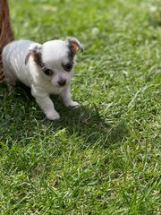 ein Chihuahua Mädchen Welpen sucht