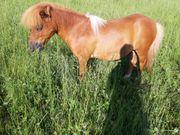 ZEIT mit einem Pony geführtes