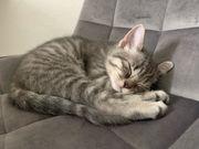 2 BKH Kitten suchen Dosenöffner -