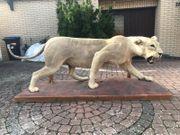 Löwinnen Präparat aus Namibia