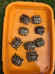 Maurische Landschildkröten Babys