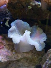 Meerwasser Teppichanemone