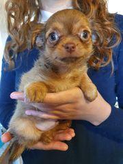Wir verkaufen wunderschöne Chihuahua Welpen
