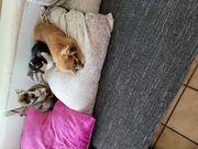 Chihuahua junghunde