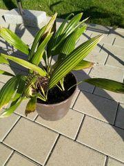 Palme aus Brasilien