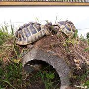 Nehme Europäische landschildkröten auf