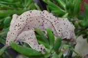 1 0 Kronengecko Correlophus ciliatus -