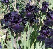 Lilie Bartlilie dunkel-lila