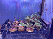 SPS Korallen abzugeben - Meerwasser