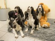 Familien freundliche English Springer Spaniel