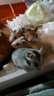 süsse gold hamster baby s