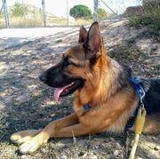 KAREN - Schäferhund-Mädchen sucht kompetenten Boss