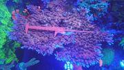 hyacintus Meerwasser table