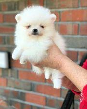 Pomeranian dfr