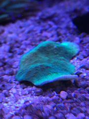 PAVONA CACTUS GREEN Meerwasser Korallen