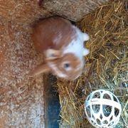 Zwergkaninchen Löwenkopfkaninchen Kaninchen u 1