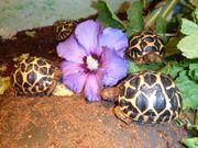 Indische Sternschildkröten Geochelone Elegans Nachzuchten