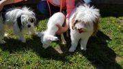 Kleine süße Hunde Welpen Rüden