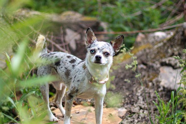 Chihuahua Deckrüde Blue Merle