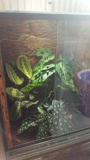 Tokke Gecko NZ