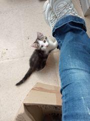 Baby-Kitten main coon mischlinge