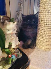 Süße persische Katzenbaby
