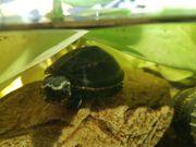 Kleinbleibende Wasserschildkröte optimal für Anfänger