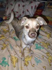 Chihuahua mix junghund