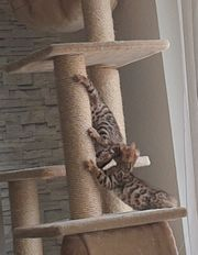 Kitten Bengal Spotted Tabby Black