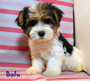 Niedliche kleine Biewer Yorkshire Terrier