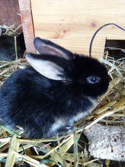 Zwergwidder Kanienchenbabys
