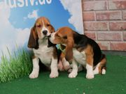 Aktive Beagle Welpen