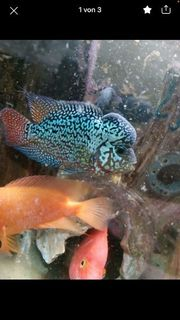 12 Fische Flowerhorn