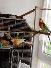 Prachtrosella Pärchen mit Vogelvoliere auf