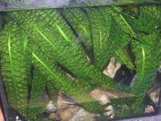 Hammerschlag Wasserkelch - Cryptocoryne aponogetifolia