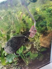 Moschusschildkröten