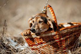 Bild 4 - Schäderhund-Bracke Mix Funtik sucht Zuhause - Augsburg Innenstadt