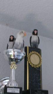 Agaporniden Unzertrennliche Love Birds Agas