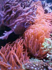 entacmaea quadricolor Kupferanemone sinularia Weichkoralle