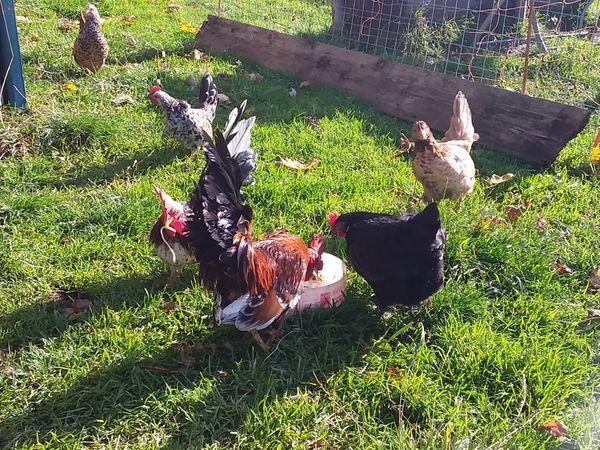 Chabo Junge Chabo-Hühner abzugeben