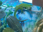 NZ Großer Madagaskar Taggecko Phelsuma