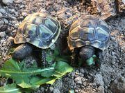 1- jährige griechische Landschildkröten THB
